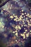 Romantiska vita blommade körsbärsröda blommafilialer Arkivfoton