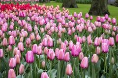 Romantiskt landskap med rosa tulpan arkivbild