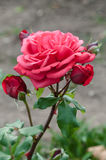 Romantiskt rosa peachy arbeta i trädgården för för rosblomma och knoppar Arkivbild