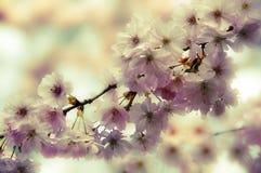 Romantiskt vårträd av det lösa körsbärsröda trädet eller äppleträdet, i att blomma arkivbilder