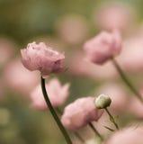 Romantyczni jaskierów kwiaty Zdjęcia Stock