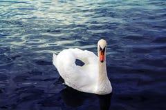 Romantyczny biały łabędź unosi się na załzawionej powierzchni Zdjęcia Royalty Free