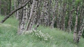 Romantyczny brzoza las w północnym Włochy zbiory