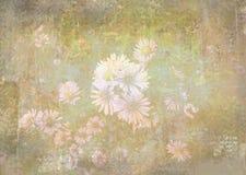 Romantyczny chamomile kwitnie w ogródzie grunge kwiecisty tła Zdjęcie Royalty Free