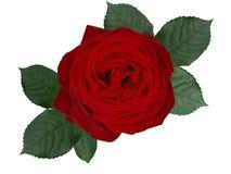 Romantyczny czerwieni róży kwiat, odosobniony na białym tle fotografia stock