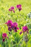 Romantyczny flowerbed w purpurowych brzmieniach Piękni kolorowi kwiaty - irys, cebulkowy dekoracyjny, aquilegia, łubiny Obraz Stock