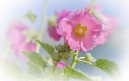 Romantyczny i świeżość różowy holyhock kwitnienie zdjęcie stock