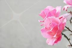 Romantyczny kwiecisty ramowy tło, Różowe róże na ściennym tle Obraz Stock
