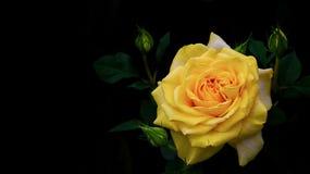 Romantyczny miedziany żółty tropikalny różany tło zdjęcie stock