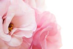 Romantyczny różowy eustoma tło Zdjęcie Stock
