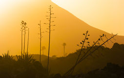 Romantyczny zmierzch z kwiatostanami agaw rośliny w powulkanicznym terenie Fotografia Stock