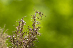 Romarin sec d'herbe Image libre de droits