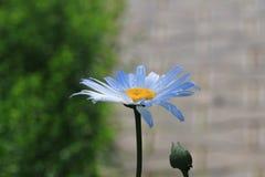 Romashka род постоянных цветковых растений семьи астры, или Compositae стоковые фотографии rf