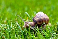 Romański ślimaczek w trawie Fotografia Royalty Free