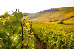 Romatic żółci winnicy podczas jesieni w Rheinhessen obrazy stock