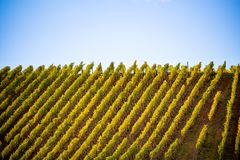 Romatic yellow vineyards during autumn in Rheinhessen Royalty Free Stock Images