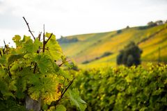 Romatic yellow vineyards during autumn in Rheinhessen Royalty Free Stock Photography