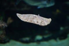 Rombo (scophthalmus maximus) Fotografie Stock Libere da Diritti
