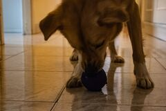 The dog enjoys playing with the ball at home, sniffs it and then tries to catch it.
