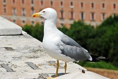 Rome city bird gull on San Angelo castle Royalty Free Stock Photography