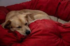 The dog sleeps peacefully on his warm pillow.