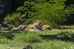 Lions at Bioparco Stock Photo
