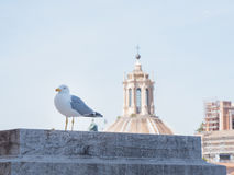 Rome, Italy, 12 may 2015, Seagull stands over the roofs in historical center of city royalty free stock photo