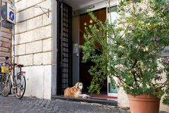 Rome, Italy - October 1, 2019: Lovely dog lying at the entrance of the shop at quiet Roman square