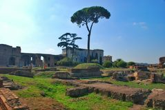 Rome, Palatine. Pine Stock Images