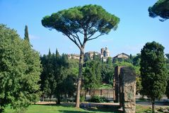 Rome, Palatine. Pine Royalty Free Stock Image