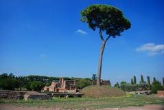 Rome, Palatine. Pine Royalty Free Stock Photo