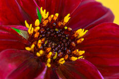 Romeo Dahlia Florets. Romeo Dahlia, yellow florets, Maroon petals Stock Images