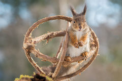 Romeo for juliet. Red squirrel standing in a sphere of branches Stock Photography