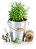 Romero de Bush en cubo del hierro con los utensilios de jardinería imagenes de archivo