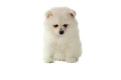 Romig witte puppy pomeranian die zitting op de witte rug wordt geïsoleerd royalty-vrije stock afbeeldingen