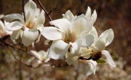 Romige bloesem van witte magnoliaboom Stock Foto's