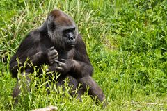Romina, An Adult Western Lowland Gorilla Feeding At Bristol Zoo, UK. Royalty Free Stock Photography