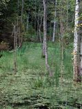 Romincka piękna, dzika część Polska lasowa, Zdjęcia Royalty Free