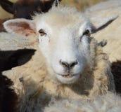 Romney母羊的表面 免版税图库摄影