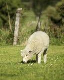 Romney lamb Stock Photo
