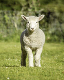 Romney lamb Royalty Free Stock Images