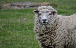Romney Marsh Sheep. Romney Marsh Ewe royalty free stock photo