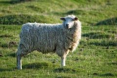 Romney Marsh Sheep. Ewe standing in field royalty free stock photo