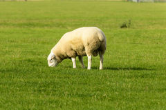 Romney Marsh sheep 05 Royalty Free Stock Images