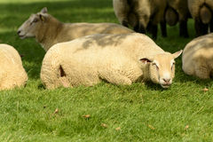 Romney Marsh sheep 03 Stock Images