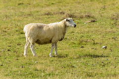 Romney Marsh sheep 09 Stock Image