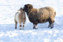 Romney Schafe und Pygmäeziege, die im Schnee umarmt. Stockbilder