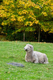 Romney Sheep. Portrait of a Romney Sheep stock photos