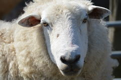 Romney Sheep Face Imagem de Stock Royalty Free