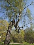 Rompa un árbol Fotografía de archivo